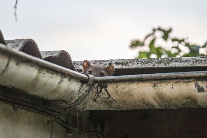 roof gutter pests